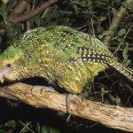 Какапо – попугаи, которые не летают